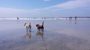 Dogs at Ocean Beach